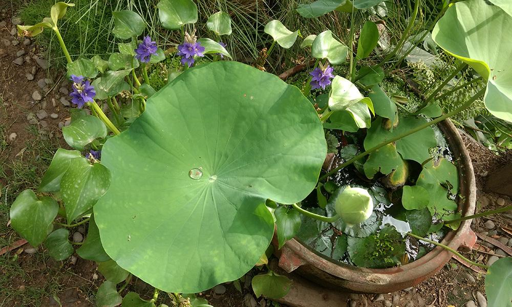 Lotus_Urli